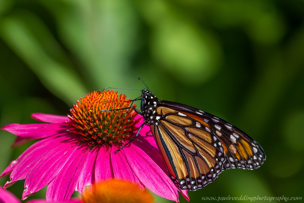 1 1 - Monarch Butterflies