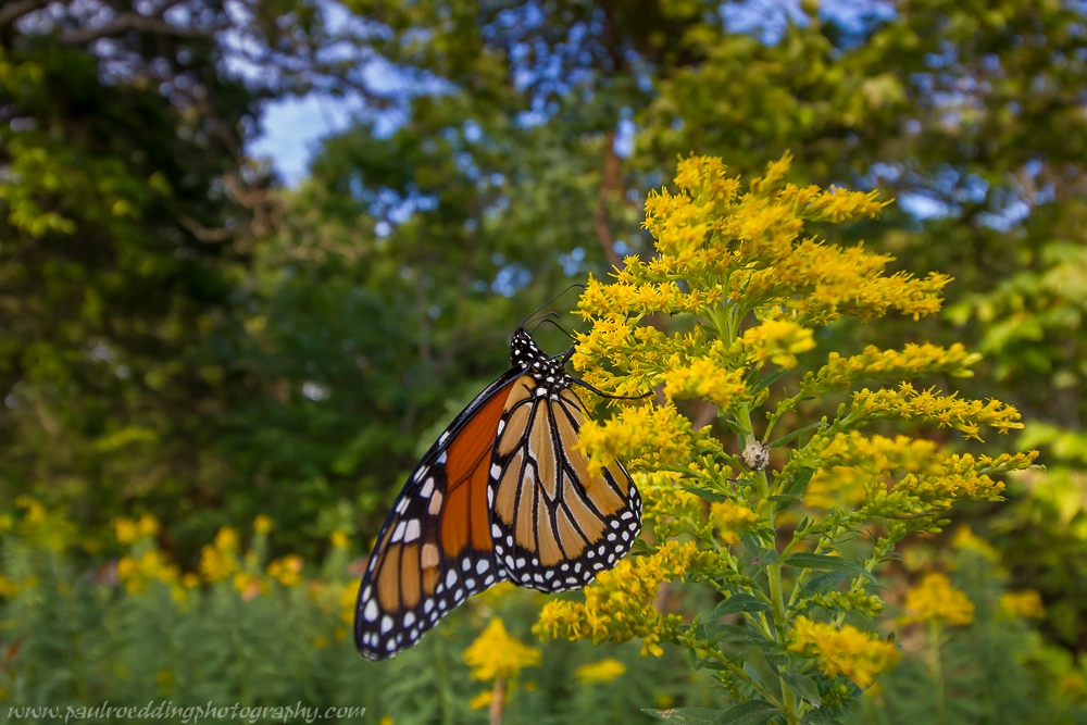 2 - Monarch Butterflies