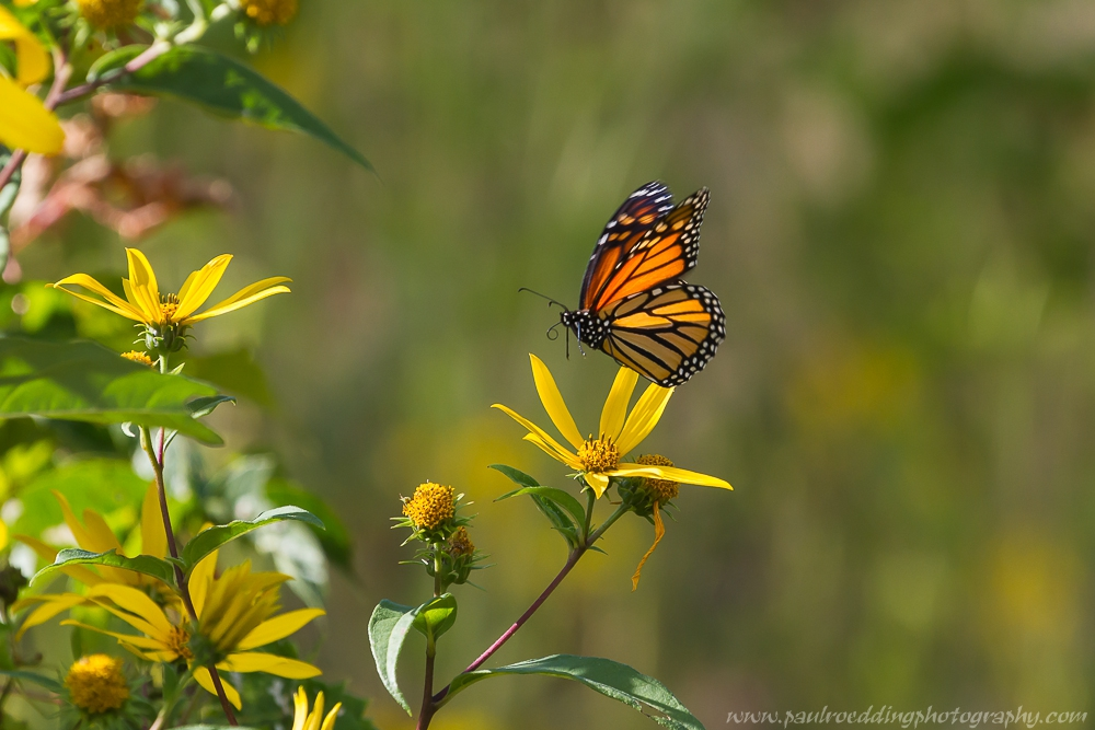 3 - Monarch Butterflies