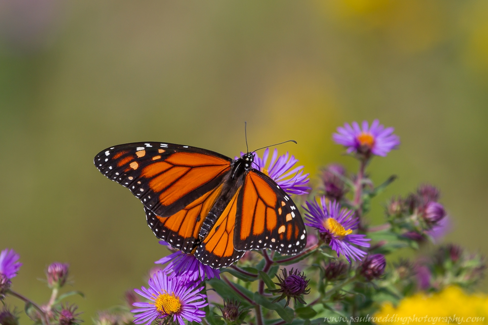 5 - Monarch Butterflies