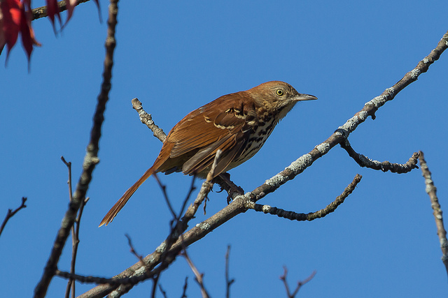 This Brown Thrasher is one of the many species of birds I've photographed while hiking at Westminster Ponds ESA.