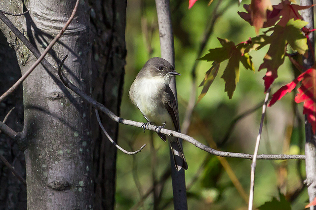 Getting out birding and identifying birds like this Eastern Phoebe can be an excellent way to relieve stress.