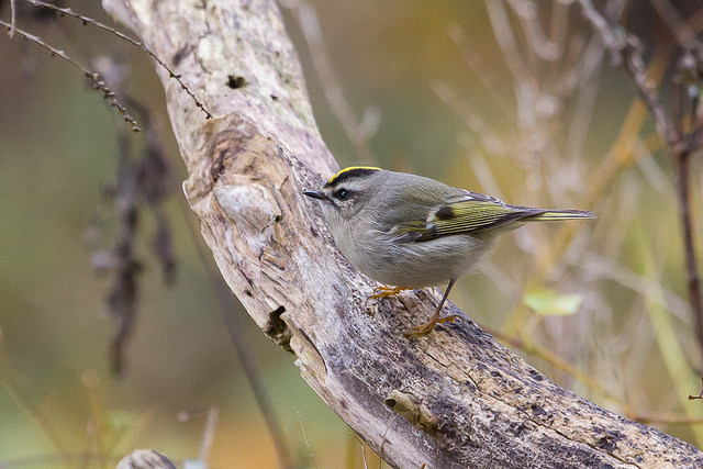 Golden-crowned Kinglet. Note the golden crown surrounded by black and the contrasting white eyebrow.
