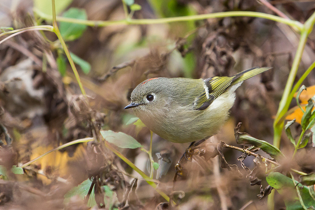 Male Ruby-crowned Kinglet. Note the white eye ring and scarlet crown patch.