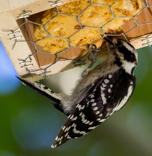 A suet feeder that requires birds to hang upside down is an excellent way to deter Starlings.