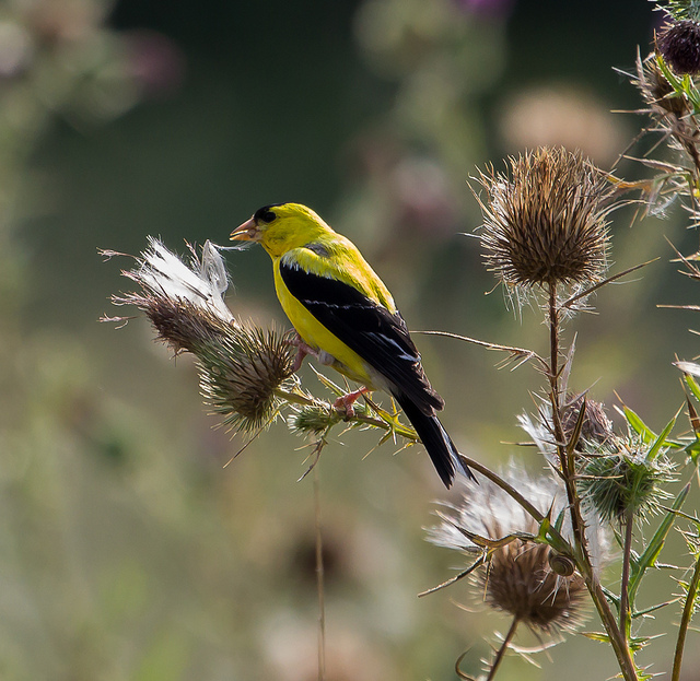 American Goldfinch feeding on the seeds of a Thistle plant.