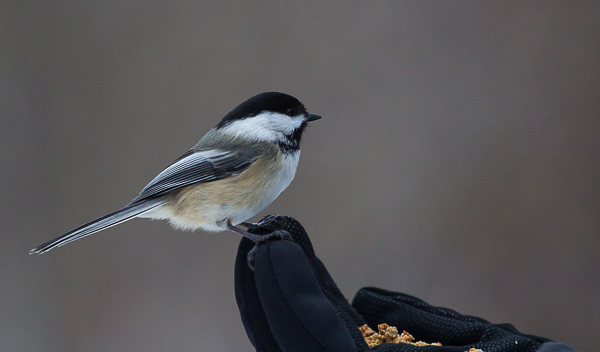 With a little patience, birds like this Black-Capped Chickadee can learn to accept food from your hand.