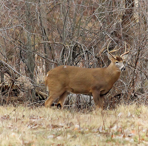 White-tailed deer are in the middle of the rut right now. It is a great time of year to see a mature buck like this one.
