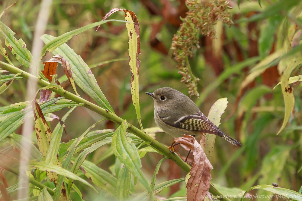 Ruby-crownned Kinglet perched on a Goldenrod stalk.