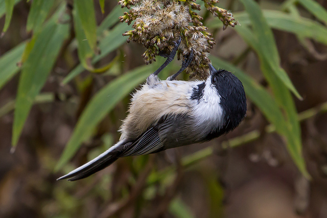 Finding a food source is key to locating birds. This Black-capped Chickadee is enjoying the seeds of a goldenrod plant.