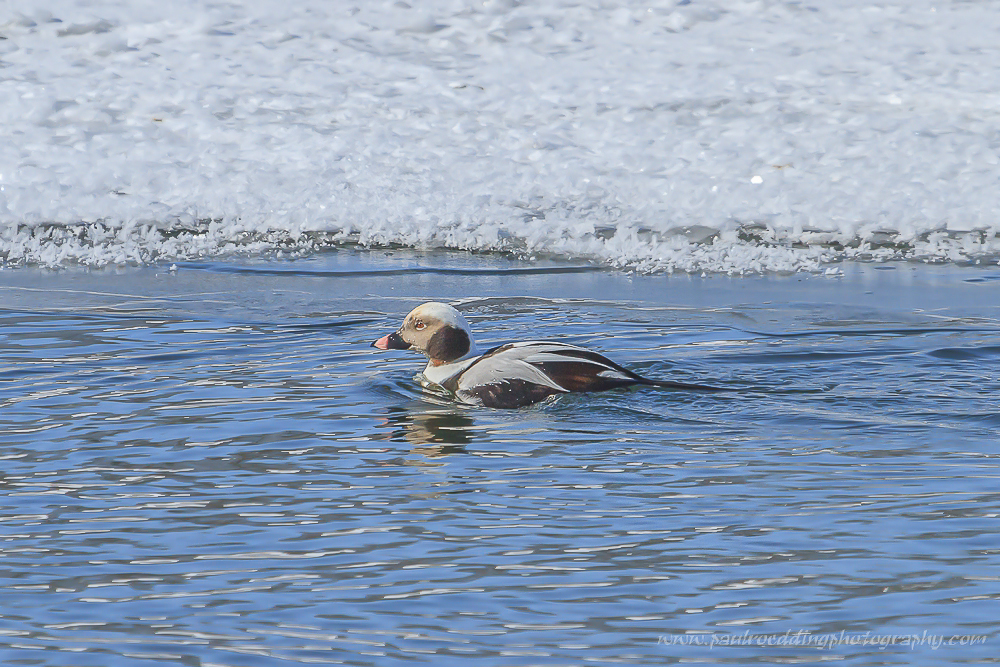 Long-taield Duck swimming along an icy river.