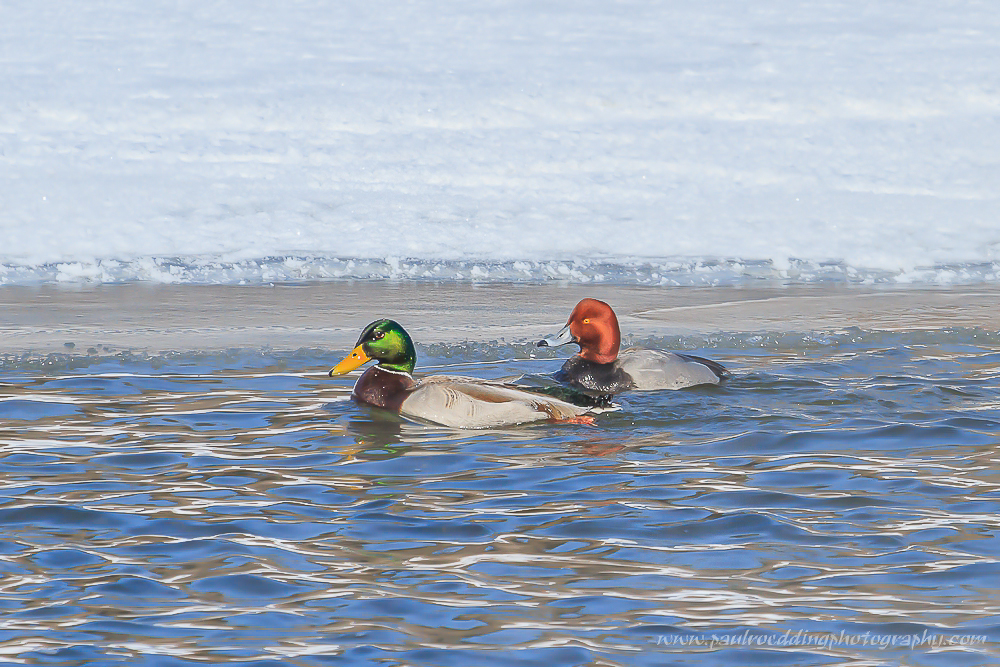 Male Redhead swimming along an ice covered rivre bank.