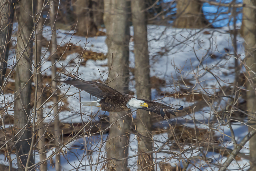 Bald Eagle taking flight.