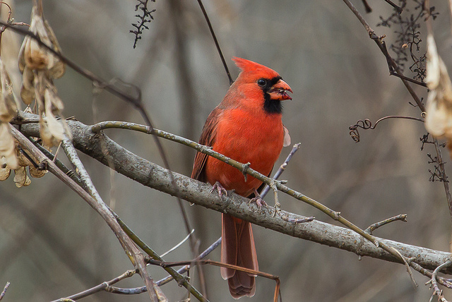 card 2 - Add Beautiful Colour And Sound To Your Yard By Attracting The Northern Cardinal