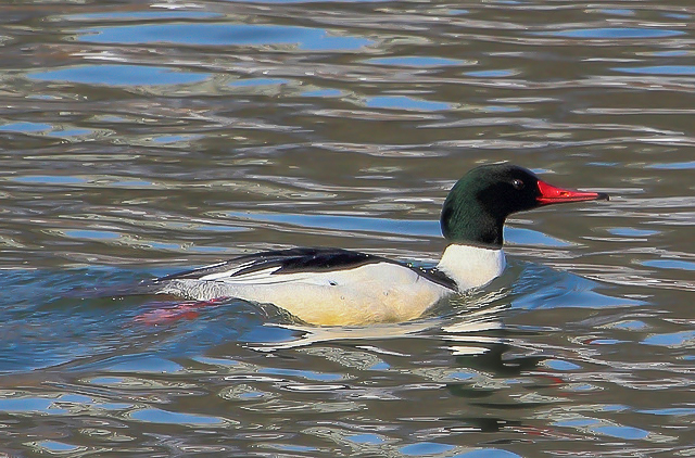 common merganser 2 - London, Ontario Birding Report November 10-17