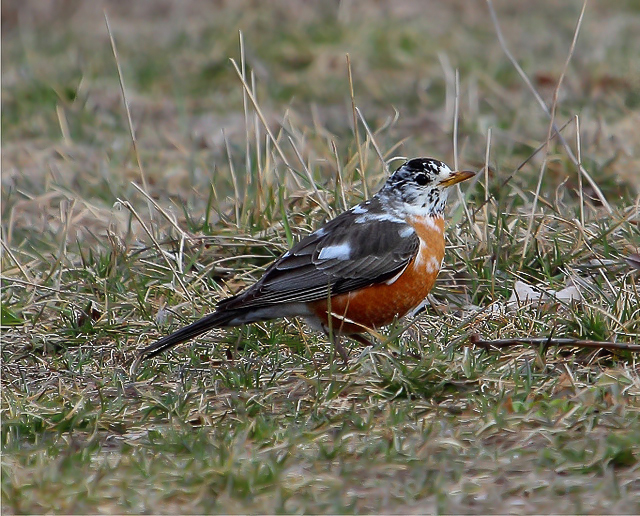 This leucistic American Robin was a nice surprise one April afternoon.