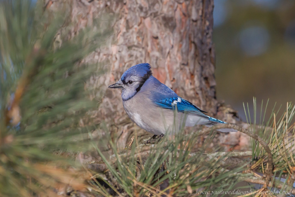 Blue Jay perched behind the green needles of an Eastern White Pine tree