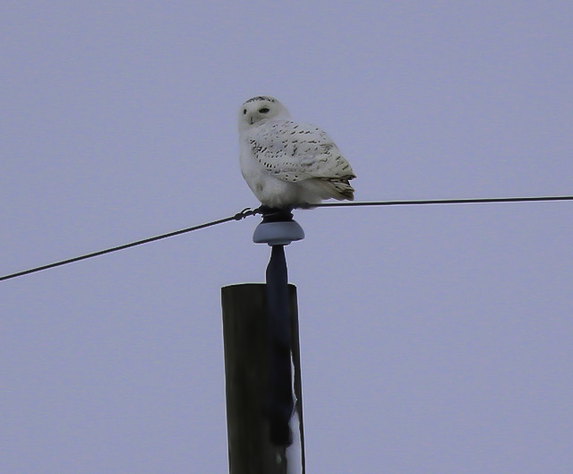 Hydro poles are a great spot to find Snowy Owls. I took this shot from my truck window. Not my best shot but the important thing is I didn't put added stress on the bird by trying to approach it. It stayed perched on the pole for someone else to enjoy.