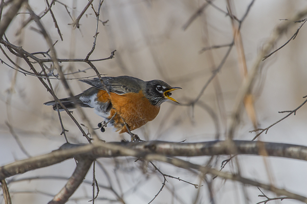 IMG 3831 1 - American Robin: A Sign Of Spring, Or Elusive Winter Resident?