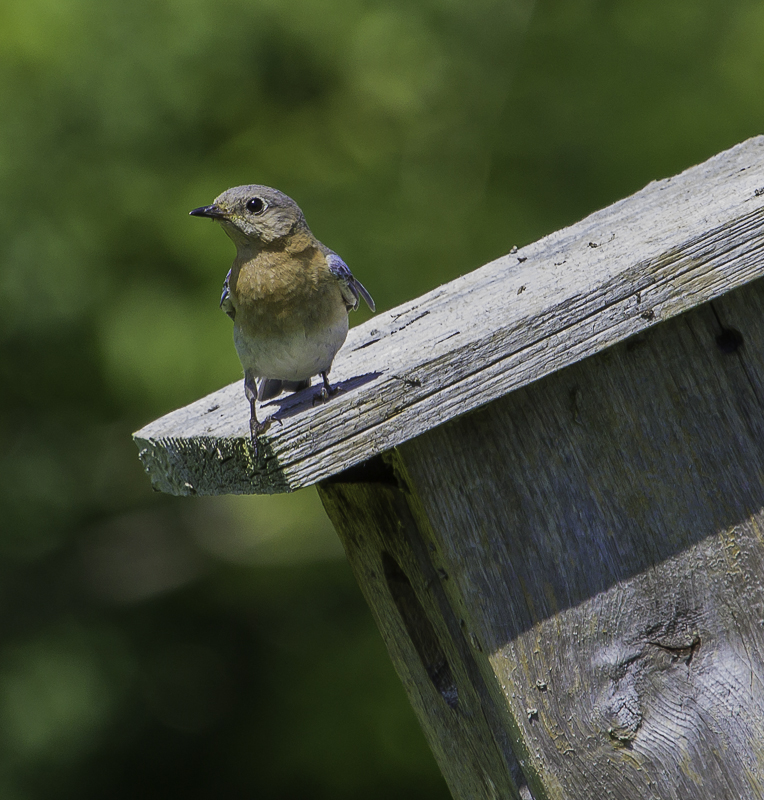 Eastern Bluebirds are a species of bird that readily use a nest box. One key to getting birds to use your nest boxes, is having them up early.