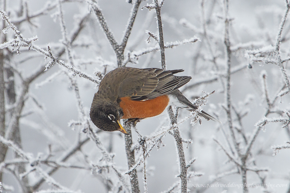 Watermark 1 2 - American Robin: A Sign Of Spring, Or Elusive Winter Resident?