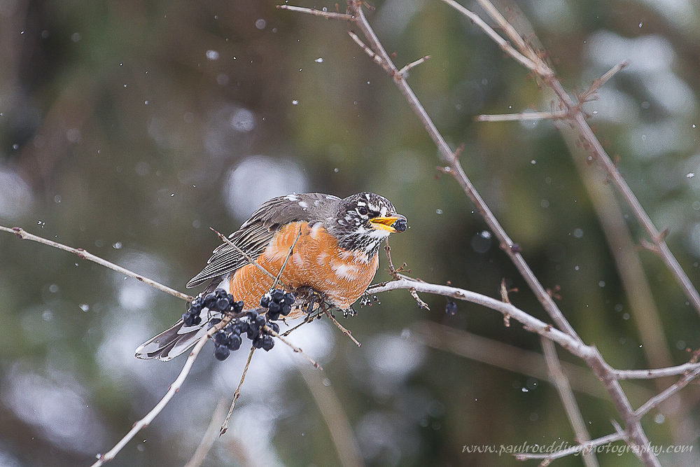 Watermark 1 - American Robin: A Sign Of Spring, Or Elusive Winter Resident?