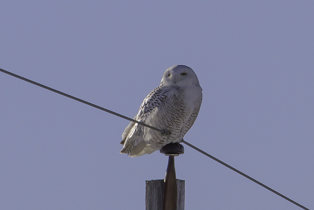 snowy owl - Be Respectful When Enjoying Nature