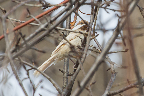 The most unique observation of the week was this leucistic Black-capped Chickadee.