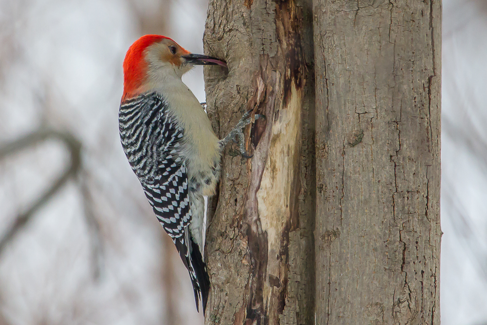 IMG 7103 1 2 - The Red-Bellied Woodpecker Is Tops On My Bird List