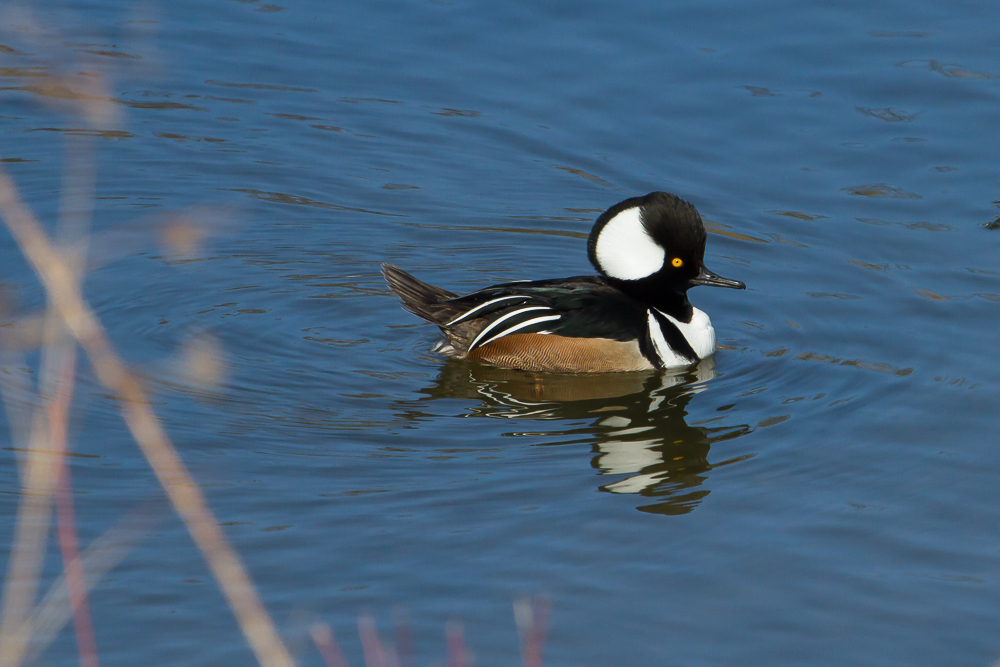 Hooded Mergansers are commonly found and easily viewed on the Thames River during winter months.