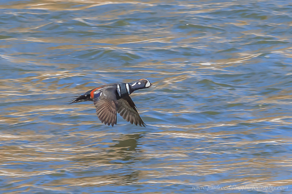 Male Harlequin Duck flying up the Thames River London, Ontario.