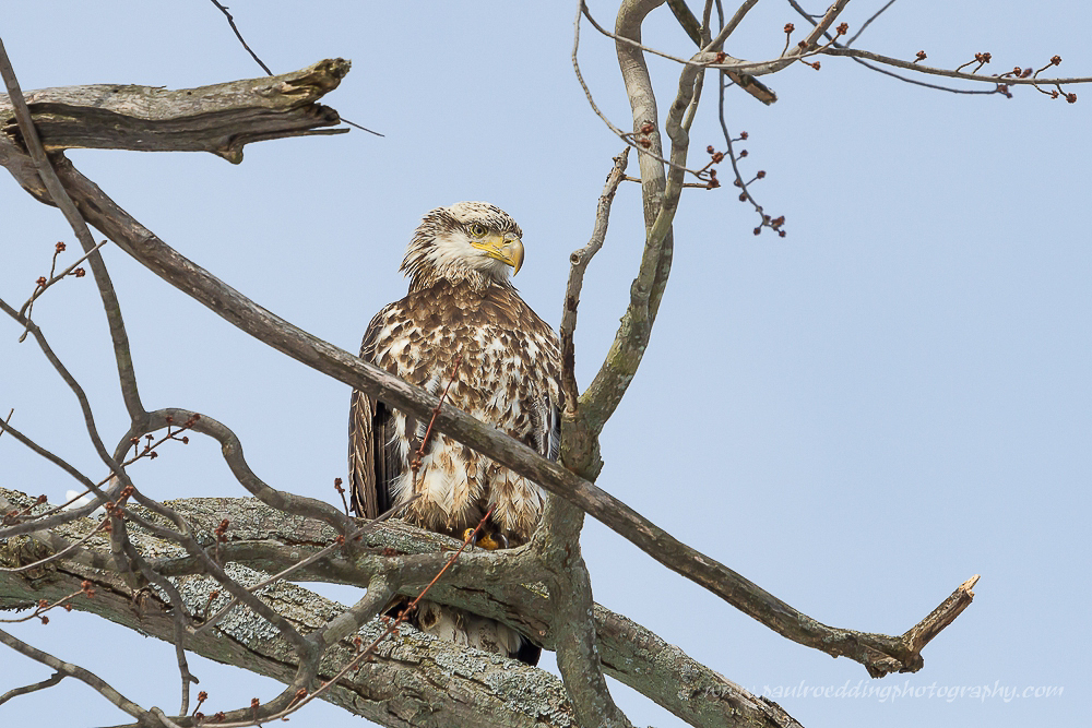 Watermark 1 - 18th Annual Great Backyard Bird Count Happens This Weekend: February 13-16, 2015