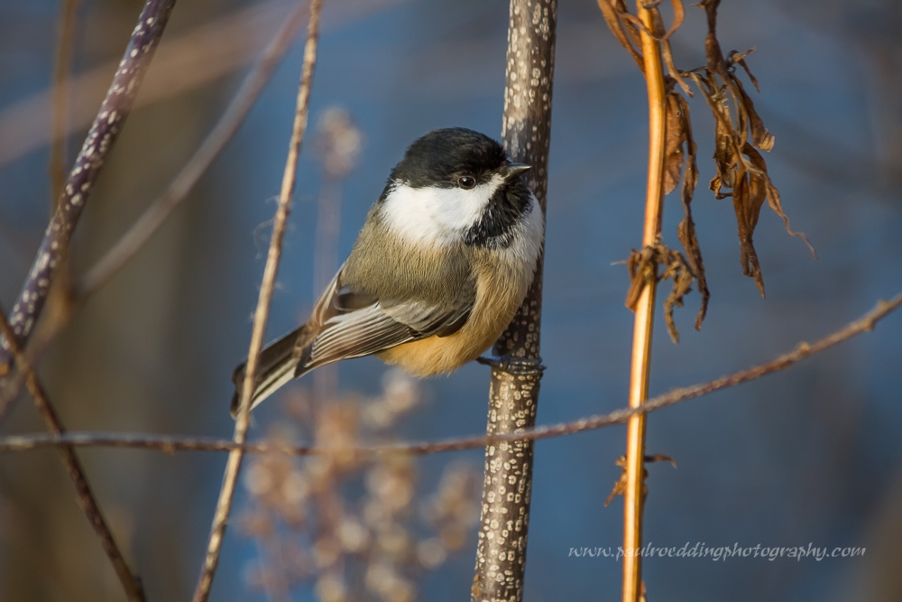 Image quality has more to do with the person behind the camera than the cost of your equipment. This Black-capped Chickadee was photographed with the Canon EFS 55-250mm f-4-5.6 IS II; a lens that retails for $299.00