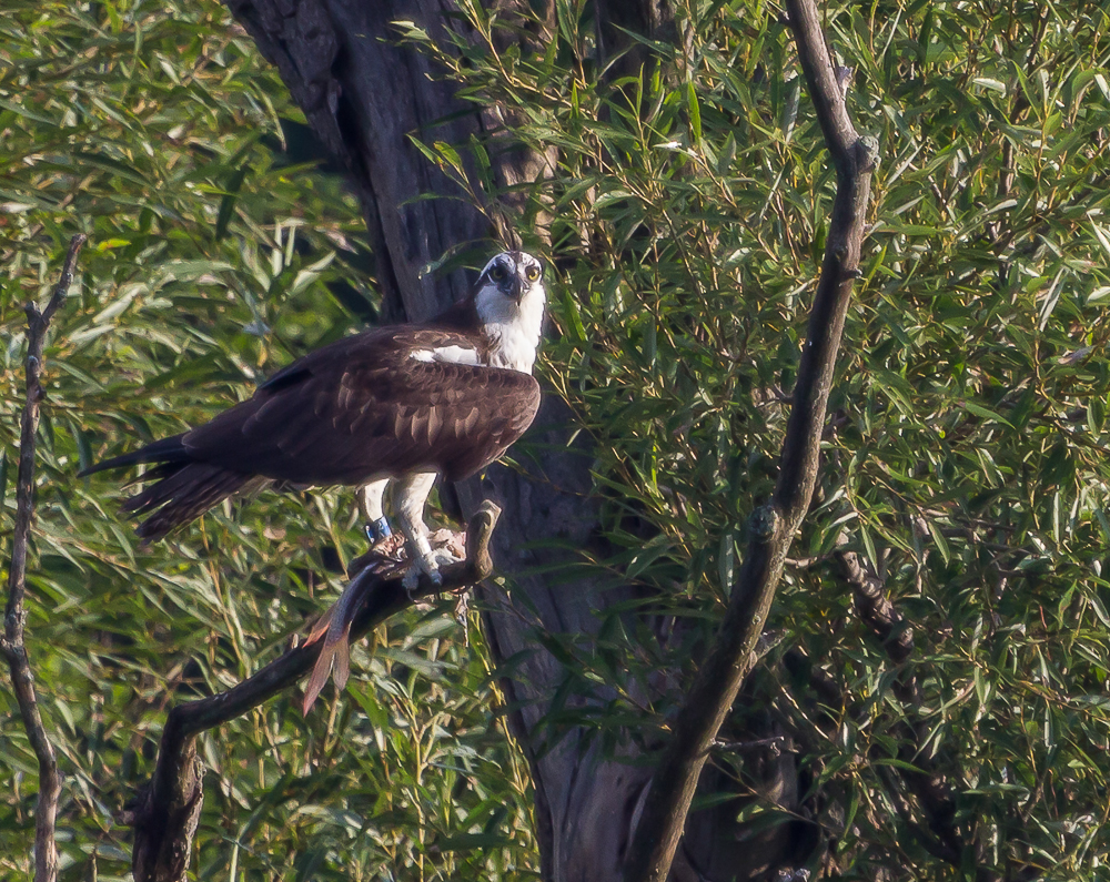 9631203552 5f07d79408 o1 - Spring Marks The Return Of Osprey To London Ontario