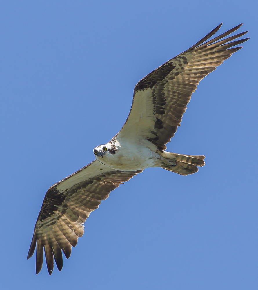 9675028020 d03cfa095c o1 - Spring Marks The Return Of Osprey To London Ontario