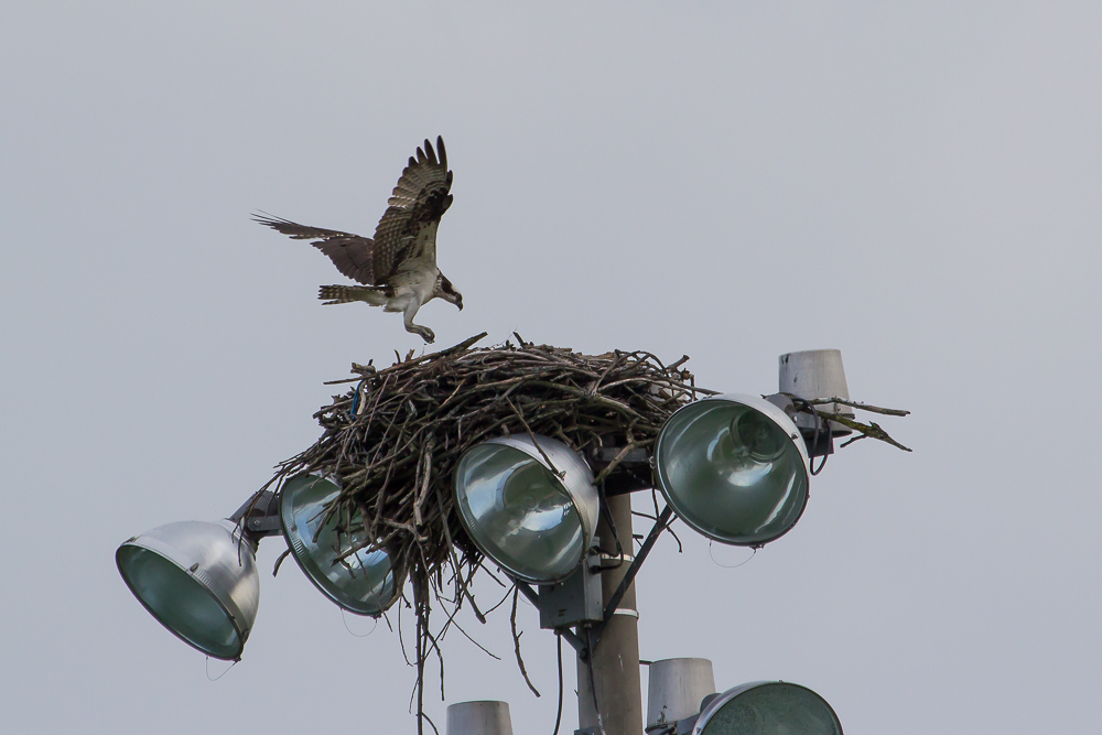 IMG 5501 1 - Spring Marks The Return Of Osprey To London Ontario