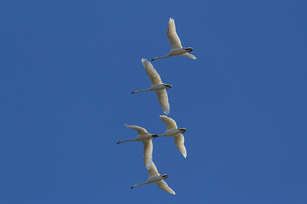 IMG 8642 1 - Tundra Swan Migration About To Reach Full Height