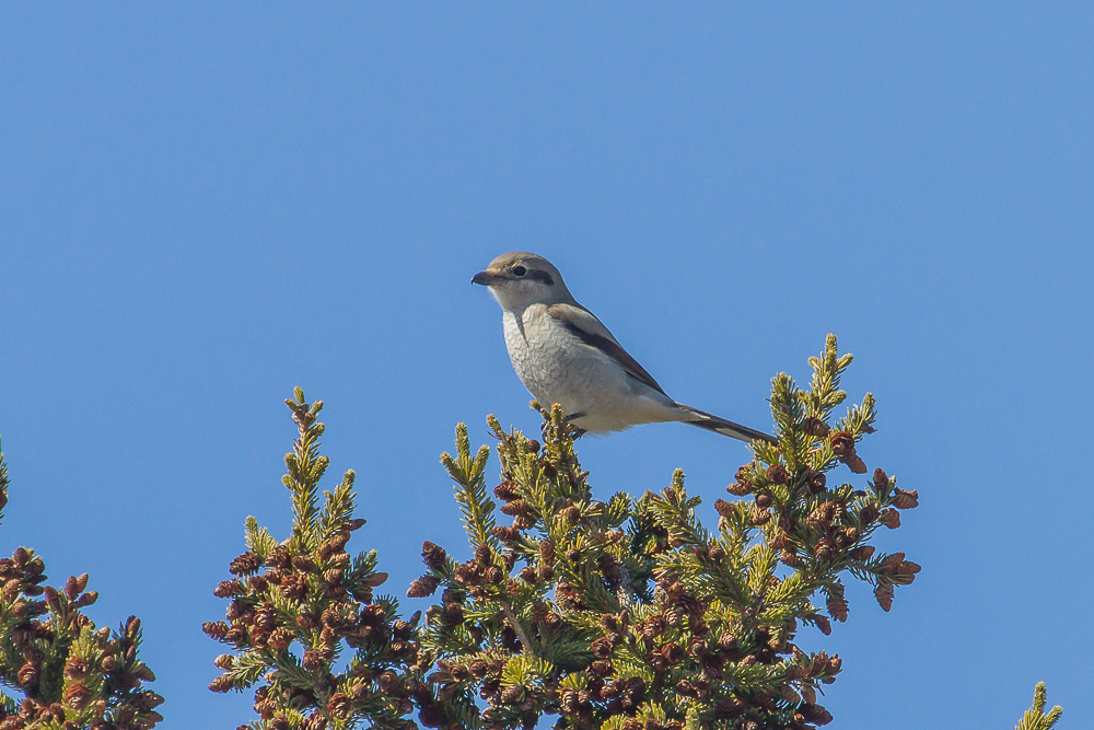 The Northern Shrike, a predatory songbird, is only found in our area during winter months.