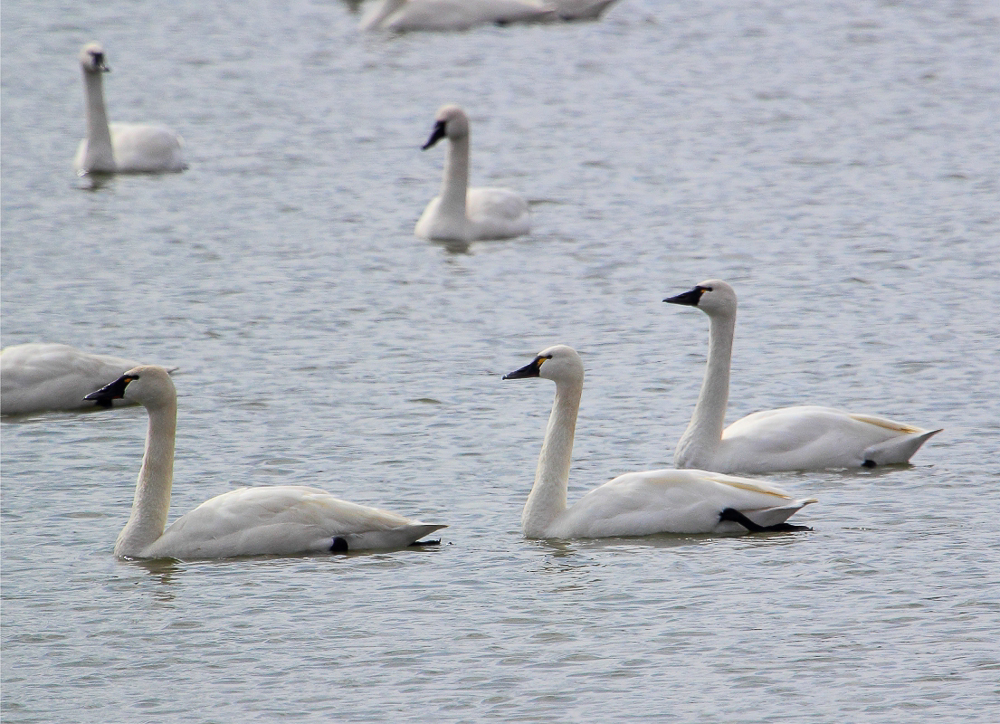S2 1 - Tundra Swan Migration About To Reach Full Height