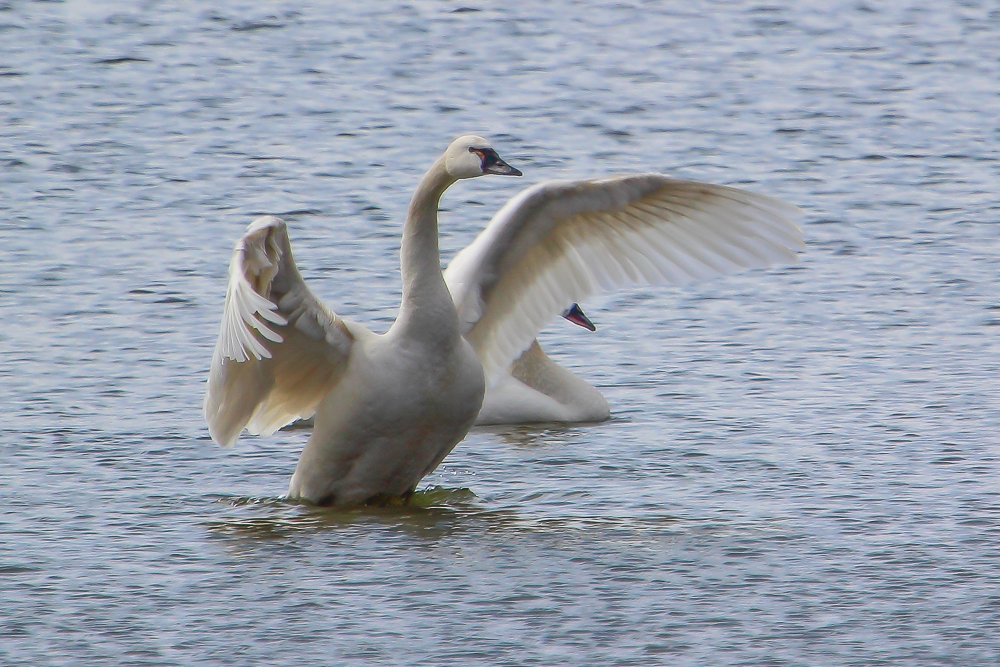 TS 1 2 - Tundra Swan Migration About To Reach Full Height