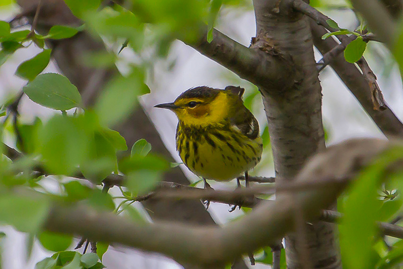8729469910 e585220de8 z 1 3 - Warblers Will Be The Highlight Of The 2014 Festival Of Birds