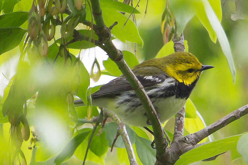 8732837300 b9a7cce4e3 z 1 2 - Warblers Will Be The Highlight Of The 2014 Festival Of Birds