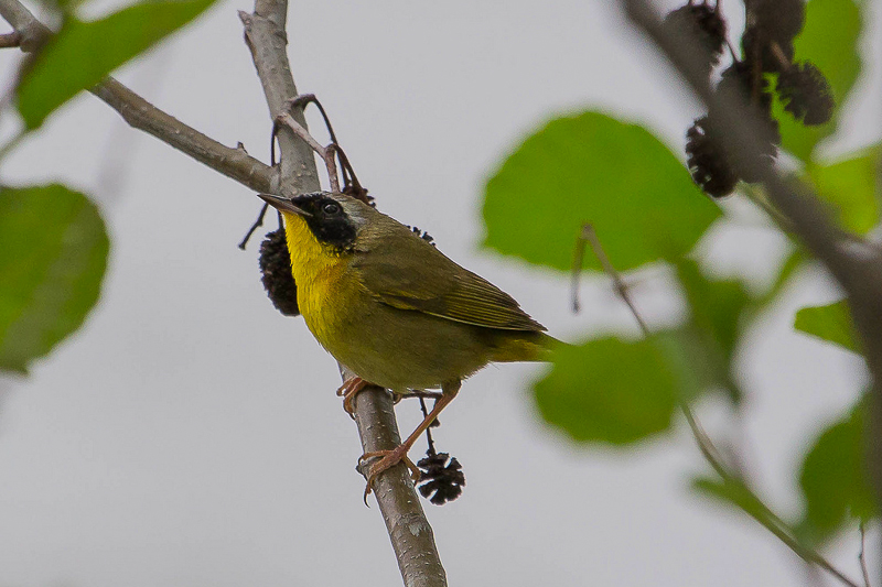 8751680718 b9b445f32e b 1 - Warblers Will Be The Highlight Of The 2014 Festival Of Birds