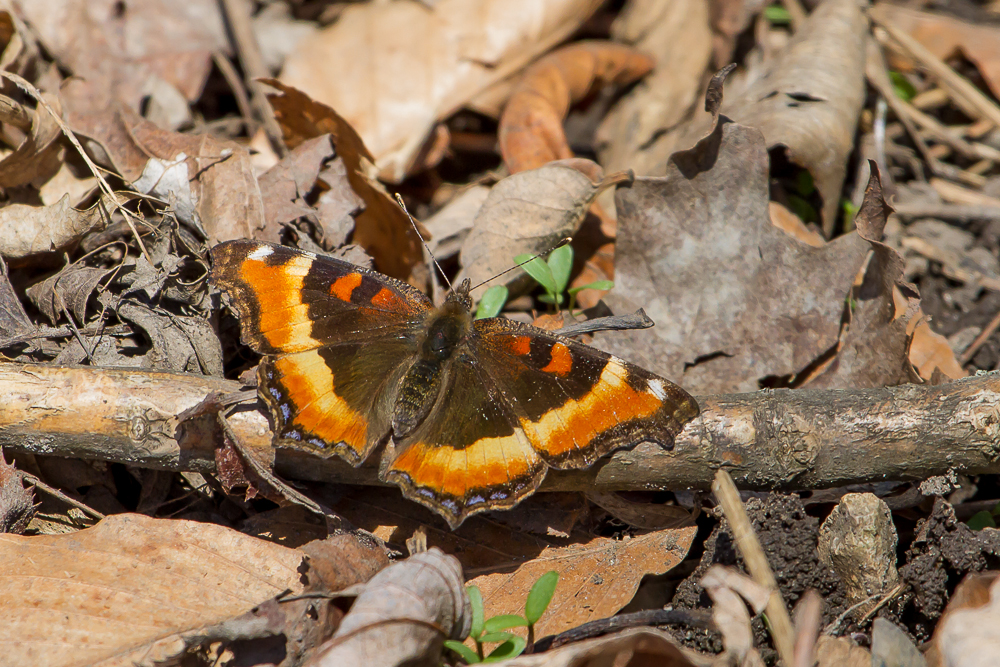 Several Butterfly species emerged this past week including this Milbert's Tortoiseshell.
