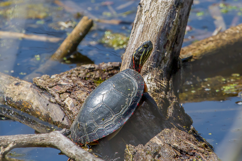 This week's warm weather didn't just bring new birds to the area; Painted Turtles could be seen basking in the sun.