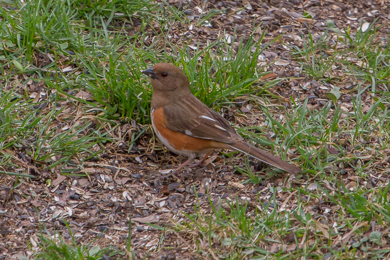 This female Eastern Towhee was a pleasant surprise to my backyard and a species to cross off my yard list.