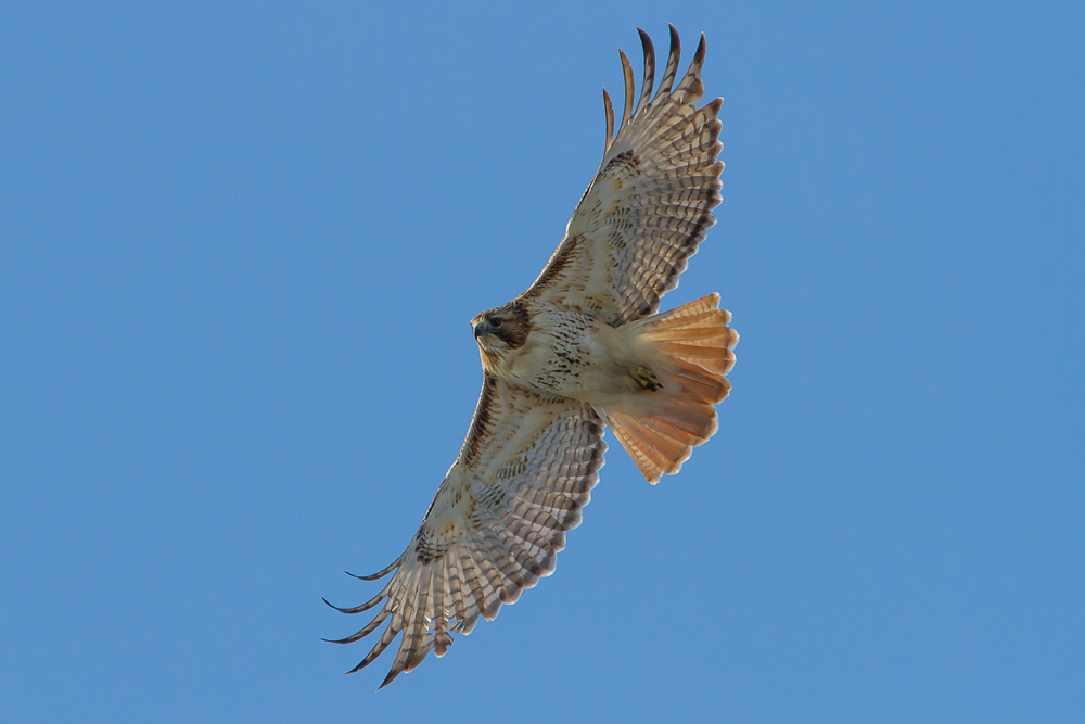 The reddish orange highlights of an adult Red-tailed Hawk's tail are visible from underneath when in flight.