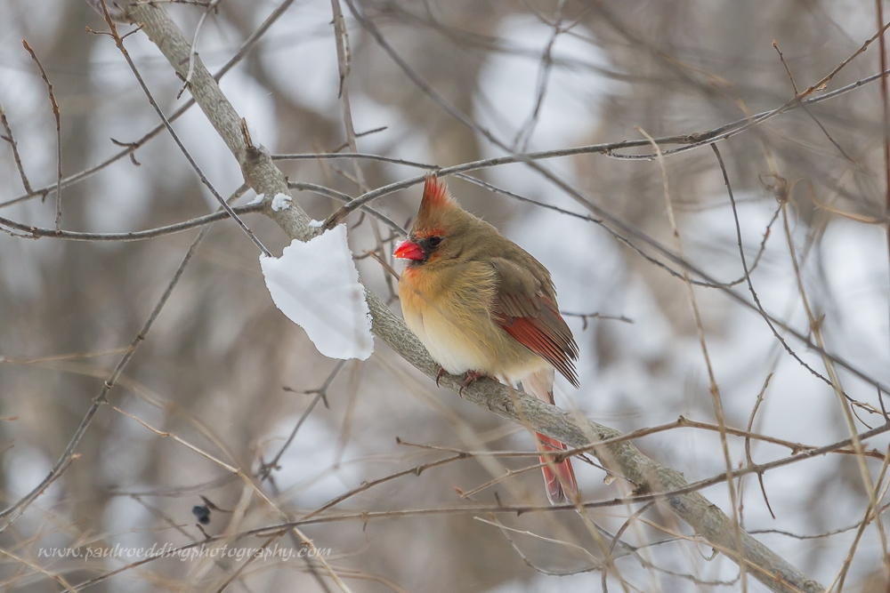 Watermark1 - 18th Annual Great Backyard Bird Count Happens This Weekend: February 13-16, 2015