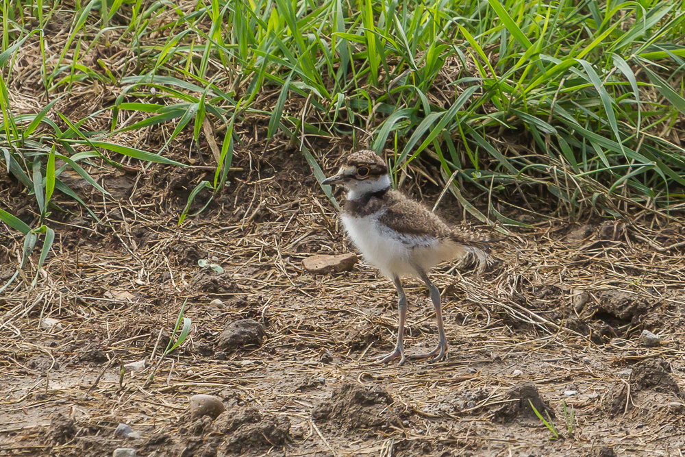 More runners than flyers, Killdeer chicks are always fun to observe.