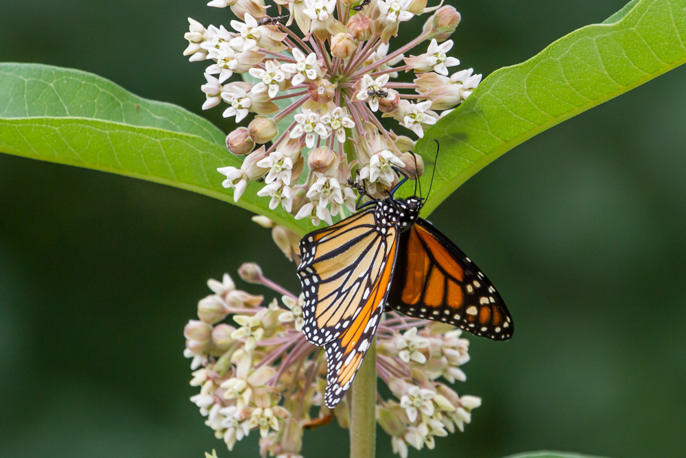 Monarch Butterlfy feeding on the necatar of a Common Milkweed plant.